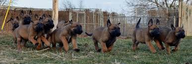 belgian sheepdog oregon belgian malinois puppies