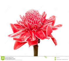 Red Ginger Flower - red ginger flower royalty free stock images image 30451559