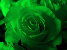 greenroses rose what is different about green roses besides
