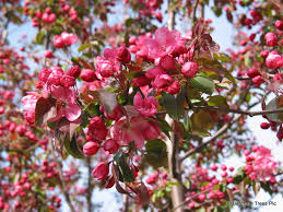 pink flower tree top trees for blossom barcham trees