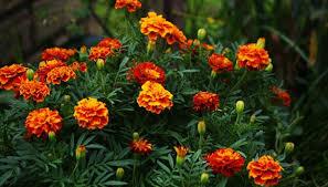 marigolds garden guides
