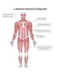 human muscular system front view human anatomy chart