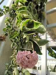 hoya compacta u0027regalis u0027 variegated hindu is variegated form
