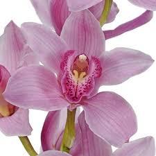 cymbidium orchids orchids pink bulk flower