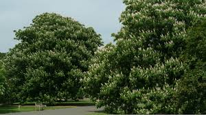 native plants in india aesculus indica wall ex cambess hook plants of the world