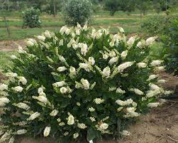 Scented Flowering Shrubs - colorchoice flowering shrubs from proven winners faddegon u0027s