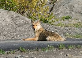 Maryland Wild Animals images Have you seen coyotes locally jpg