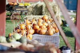 Pumpkin Picking Places In South Jersey by Best Pumpkin Picking Patches In Ny Nj Connecticut Cbs New York
