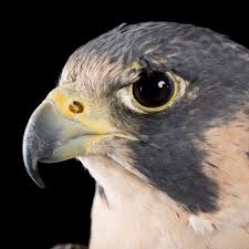 peregrine falcon national geographic