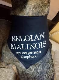 belgian shepherd ears stand up belgian malinois dog bandana