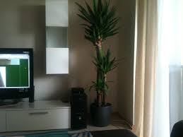 Yucca Wohnzimmer Palmen Und Co Welche Palmen Sind Für Wohnung Geeignet