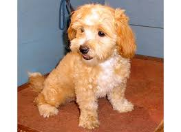 shi poo a r country kennel shih poo