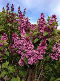 native plants albuquerque shopping for plants advice on choices albuquerque journal