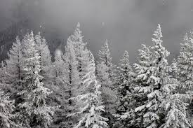 snow falling softly on pine trees wardner usa travellerspoint