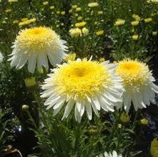 Daisy The Flower - 15 best leucanthemum images on pinterest shasta daisies daisy