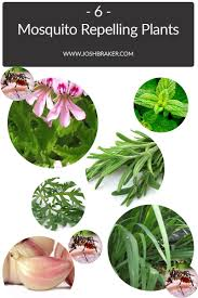 mosquito repellent 6 plants that naturally act as a mosquito