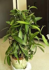 vanilla orchid vanilla orchid sthh plants