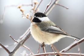 top ten birds that winter in canada earth rangers wild wire blog