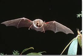 small bat kentucky department of fish wildlife small mammals and bats