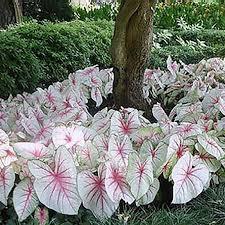 best 25 caladium garden ideas on garden flower plants