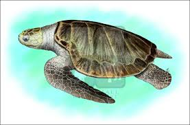 olive ridley sea turtle lepidochelys olivacea line art and full
