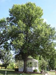 looking for an outstanding shade tree try the willow oak nola