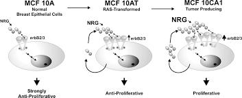 development of an autocrine neuregulin signaling loop with