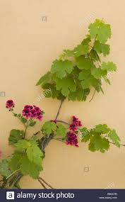 is in store house wall climbing plant wine geraniums wall facade