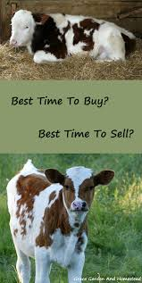 the best time to buy and sell cows u2022
