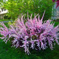 All Year Flowering Shrubs - double pink flowering almond bush michigan bulb garden