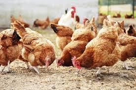 how to use chicken manure as garden fertilizer hunker