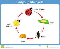 vector cycle of ladybug for kids stock vector image 50220119