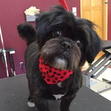 affenpinscher reviews all 4 dogs 18 photos pet groomers 11700 jefferson st ne