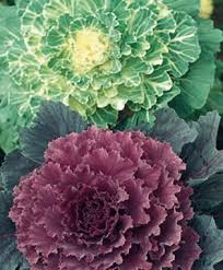 flowering cabbage a dash of color for cool season gardens