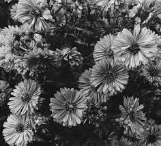 free stock photo of art black and white bloom