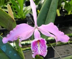 cattleya orchids cattleya orchids