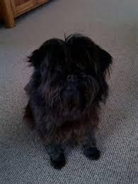 affenpinscher coat type affenpinscher friends pinterest dog breeds dog and doggies