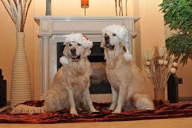 free photo golden retriever santa hat dogs free image on