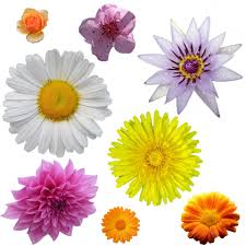 isolated flower clipart free stock photo public domain pictures