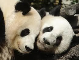 Memes De Pandas - el panda tiene un pene muy pequeño y así es su vida sexual video y