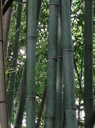 mature bamboo plants for sale northern kentucky