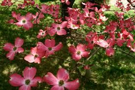 dogwood tree pink trees free nature pictures by forestwander