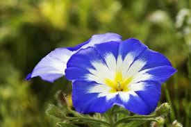 blue flower blue flower plants pictures 7 plants with true blue flowers the