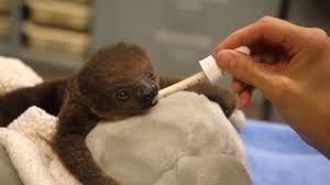 lua the baby sloth is melting our hearts