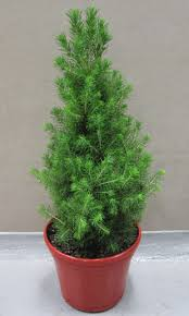 Live Decorated Tabletop Christmas Trees Delivered by Live Potted Christmas Trees Christmas2017