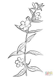 carolina jasmine gelsemium sempervirens coloring page free
