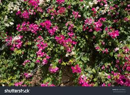 pink flowers on bush turkey november stock photo 339209861