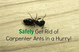 How To Get Rid Of Roaches In The Bathroom Safely Get Rid Of Carpenter Ants In A Snap The Healthy Home