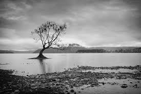 tree in lake wanaka