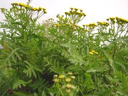 Weed Or Flower Pictures - noxious weed disposal